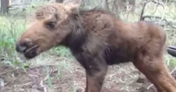 Hiker Rescues Abandoned Baby Moose. Doesn't Realize It's The Worst Thing He Can Do. Here's Why