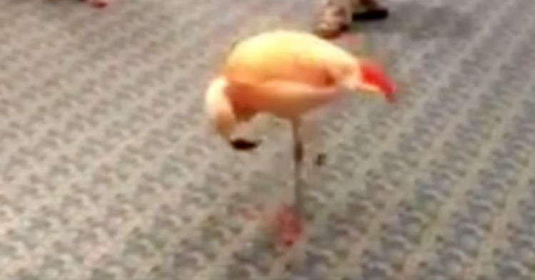 Camera Is Pointed At Flamingo With Its Head Down, Once The Music Starts I Am In Stitches