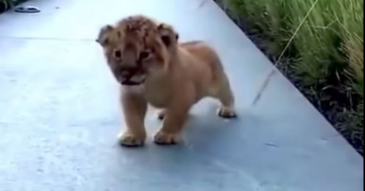 Tiny Lion Cub Tries His First Roar, What Noise Comes Out Instead Has Everyone In Hysterics