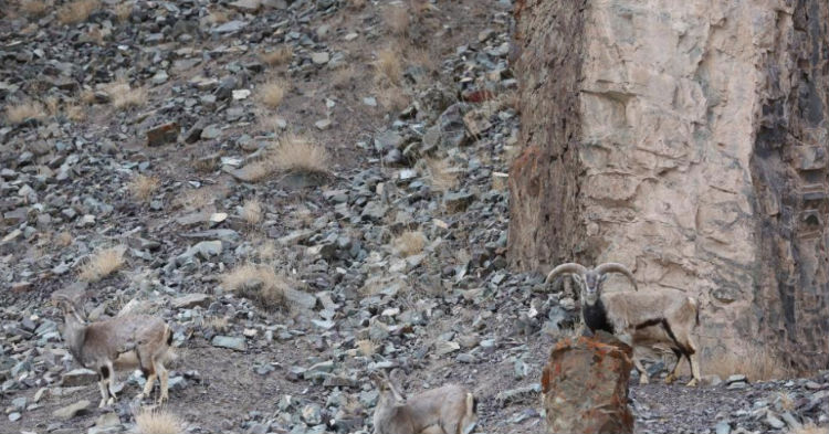 Photographer Captures Snow Leopard About To Pounce On His Prey, But Can You Pick It Out?