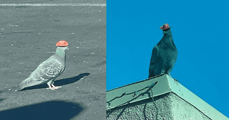 Police Are Looking For The Person Who Keeps Putting Cowboy Hats On All The Pigeons